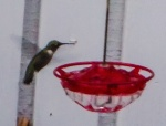 Once I added a feeder, this little hummer came daily!