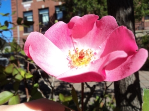 The last flower of the year, with the school behind