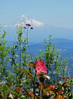 View of Mt. Hood from the gardens of Pittock Mansion in Portland, OR